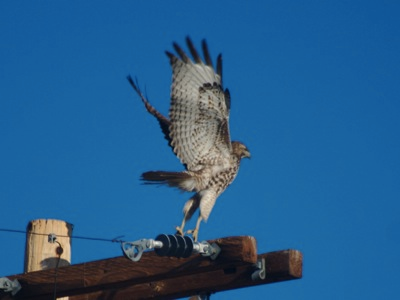 2007_2_2_Red-tailed_Hawk_taking_flight_files_shapeimage_2.png