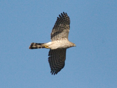 2007_1_14_Juvenile_Cooper%E2%80%99s_Hawk_in_flight_files_shapeimage_2.png