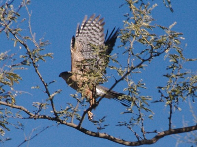 2006_12_12_Prairie_Falcon_in_flight_files_shapeimage_2.png