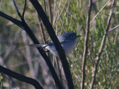 2006_12_20_Black-tailed_Gnatcatcher_files_shapeimage_2.png