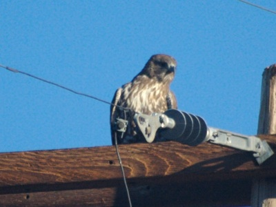 2006_11_22_Juvenile_Red-tailed_Hawk_files_shapeimage_2.png