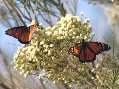 2006_10_12_Butterflies_and_bees_on_Desert_Broom_files_shapeimage_2.png