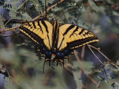 2006_9_11_Two-tailed_Swallowtail_files_shapeimage_2.png