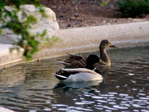 2007_4_8_Ducks_in_the_swimming_pool_files_shapeimage_2.png