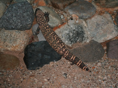 2006_8_30_Gila_monster_in_the_driveway_files_shapeimage_2.png
