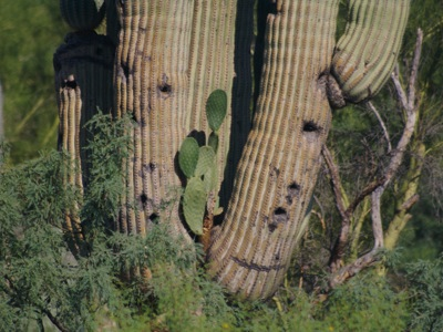 2006_8_22_Prickly_pear_growing_on_saguaro_files_shapeimage_2.png