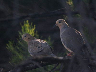 2006_8_17_Mourning_doves_files_shapeimage_2.png