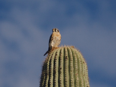 2006_8_7_Kestrel_on_saguaro_files_shapeimage_2.png