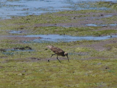 2006_7_17_Long-billed_Curlew_at_Stinson_files_shapeimage_2.png