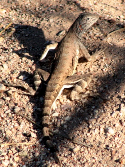 2006_6_19_Zebra-tailed_Lizard_files_shapeimage_2.png