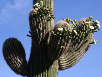 2006_5_13_Saguaro_blossoms_files_shapeimage_2.png