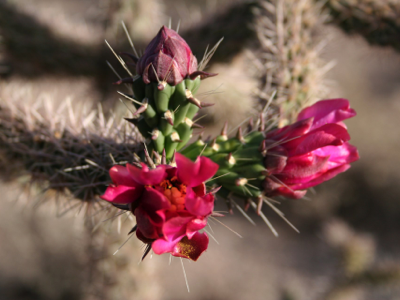 2006_5_11_Cholla_blossom_files_shapeimage_2.png