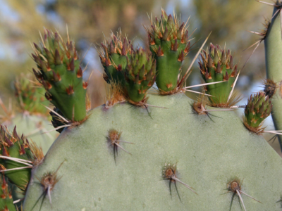 2006_4_17_Budding_prickly_pear_files_shapeimage_2.png