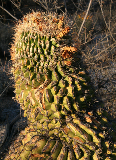 2006_2_24_Cactus_patterns_files_shapeimage_2.png
