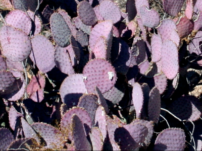 2006_1_28_Purple_prickly_pear_files_shapeimage_2.png
