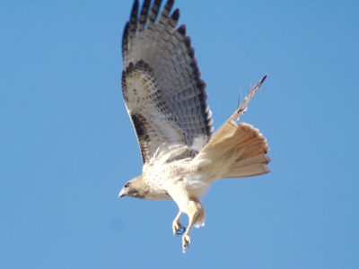 2007_3_15_Red-tailed_Hawk_taking_off_files_shapeimage_2.png